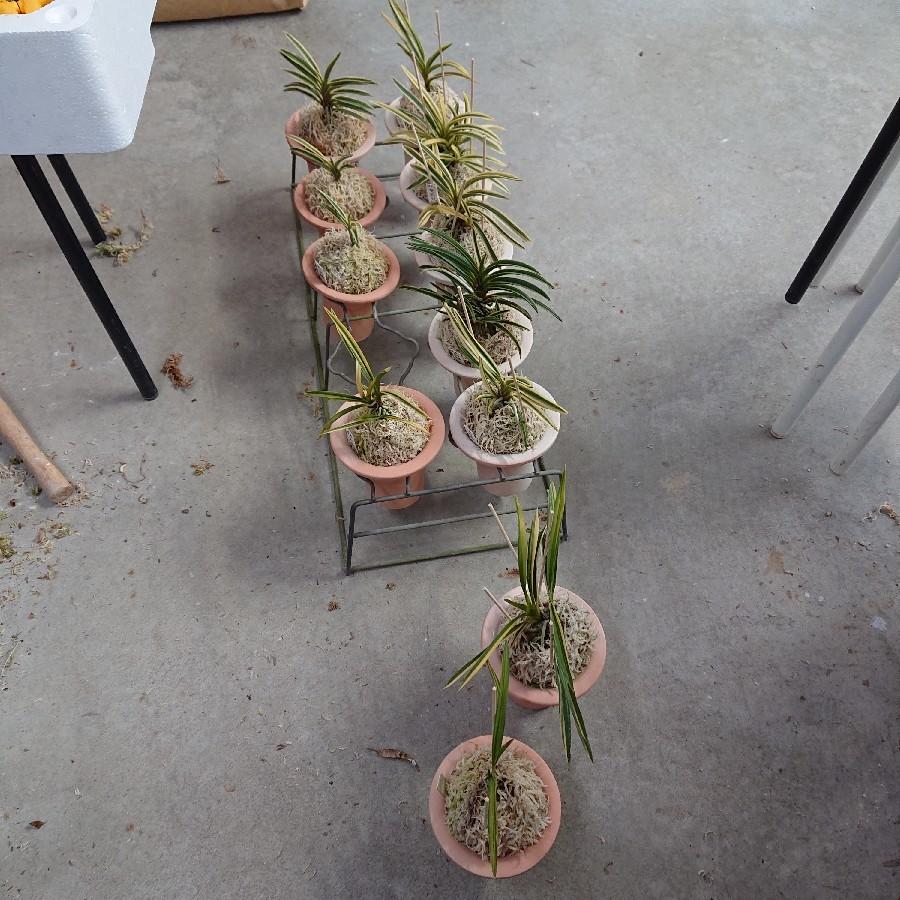 富貴蘭の植え替え始めました。_f0356792_15590996.jpg