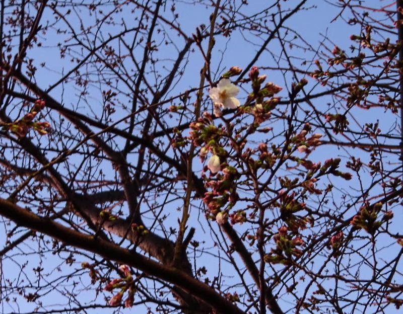 桜咲く_f0033598_18570685.jpg