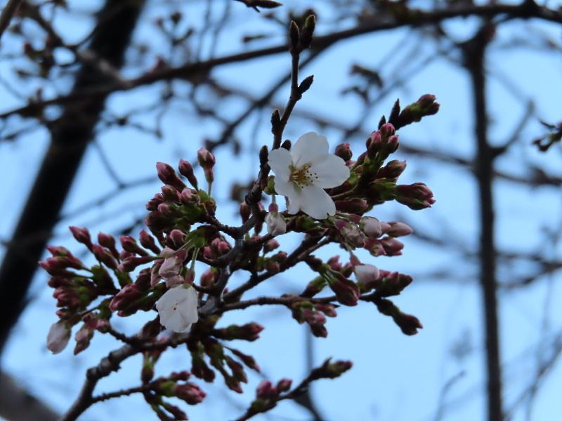 桜咲く_f0033598_18572941.jpg