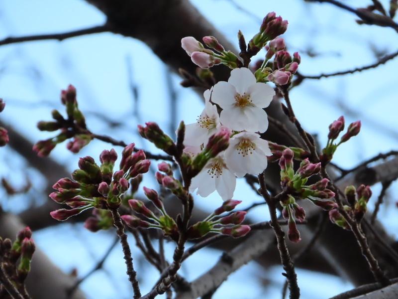 桜咲く_f0033598_18573651.jpg