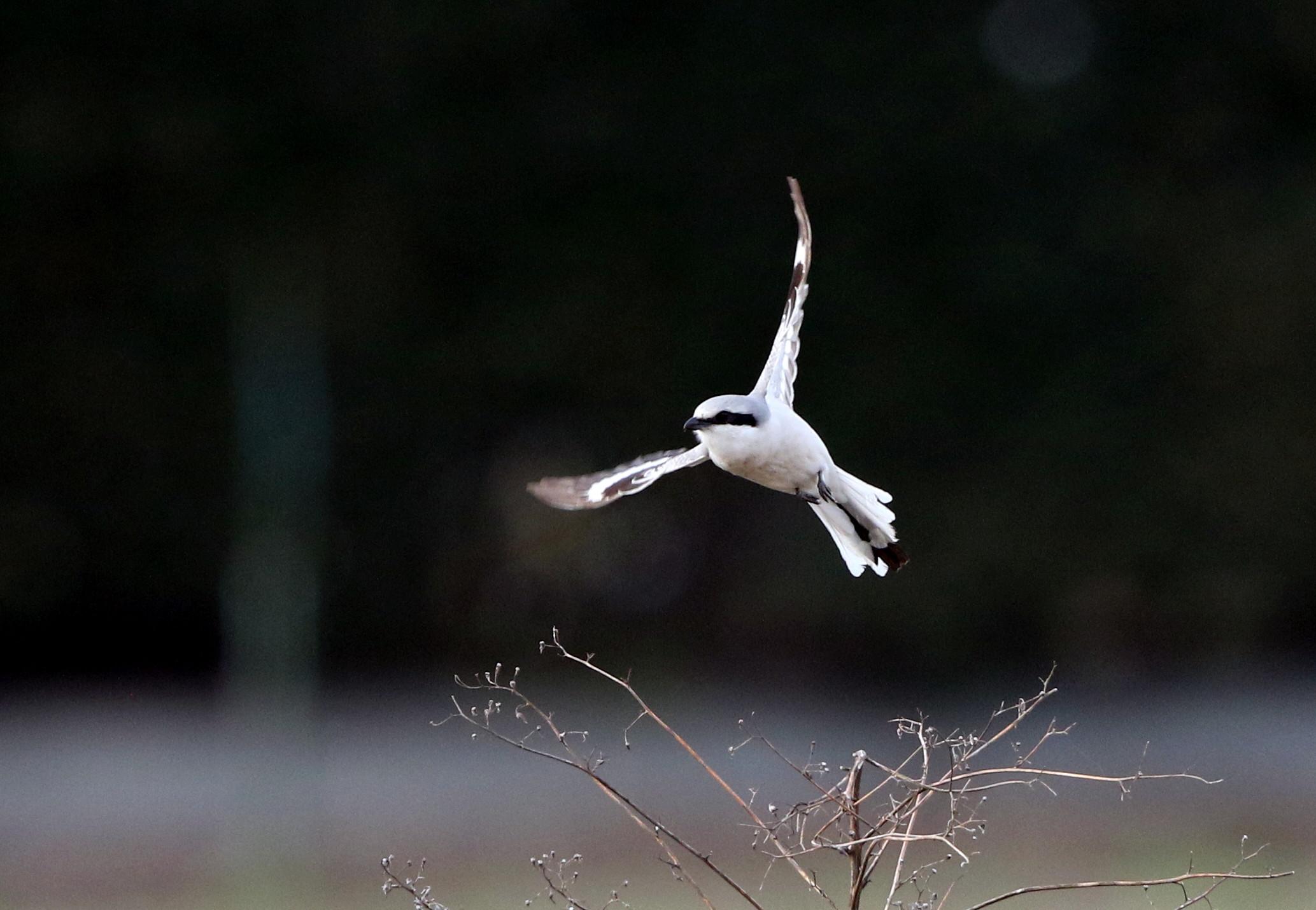 オオカラモズ その3(飛翔)_f0239515_14284591.jpg