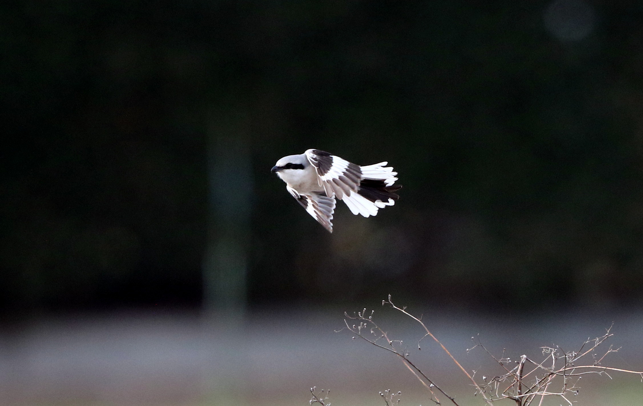 オオカラモズ その3(飛翔)_f0239515_1429236.jpg