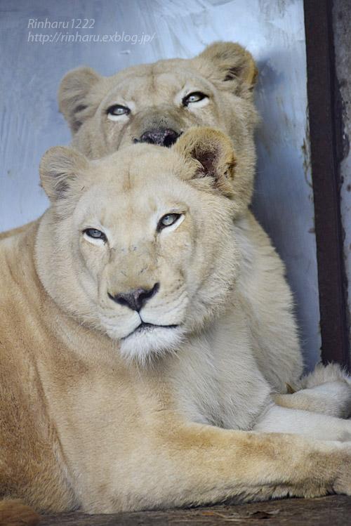 2020.1.4 東北サファリパーク☆ホワイトライオンのリオンくん、ミルちゃん、ライムちゃん【White lions】_f0250322_18452310.jpg