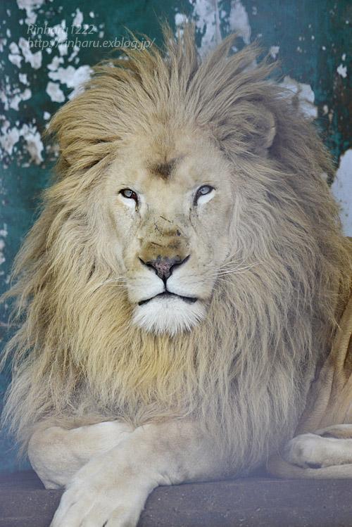 2020.1.4 東北サファリパーク☆ホワイトライオンのリオンくん、ミルちゃん、ライムちゃん【White lions】_f0250322_18453072.jpg