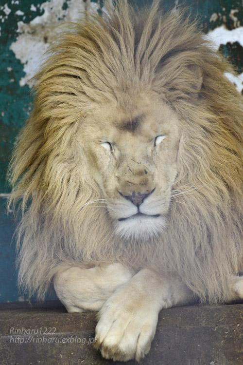 2020.1.4 東北サファリパーク☆ホワイトライオンのリオンくん、ミルちゃん、ライムちゃん【White lions】_f0250322_18453633.jpg