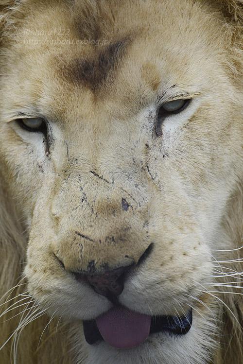 2020.1.4 東北サファリパーク☆ホワイトライオンのリオンくん、ミルちゃん、ライムちゃん【White lions】_f0250322_18454188.jpg