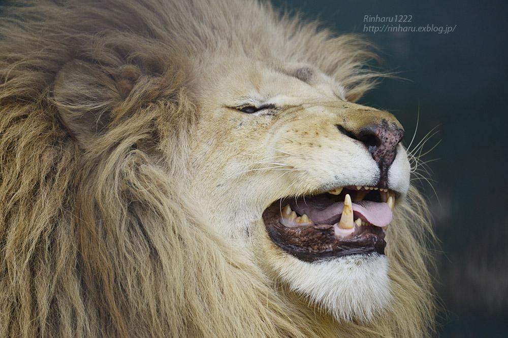 2020.1.4 東北サファリパーク☆ホワイトライオンのリオンくん、ミルちゃん、ライムちゃん【White lions】_f0250322_18454814.jpg