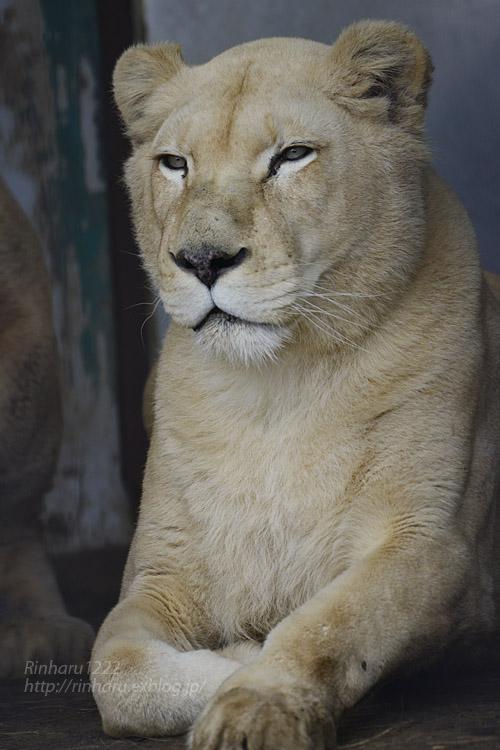 2020.1.4 東北サファリパーク☆ホワイトライオンのリオンくん、ミルちゃん、ライムちゃん【White lions】_f0250322_18455710.jpg