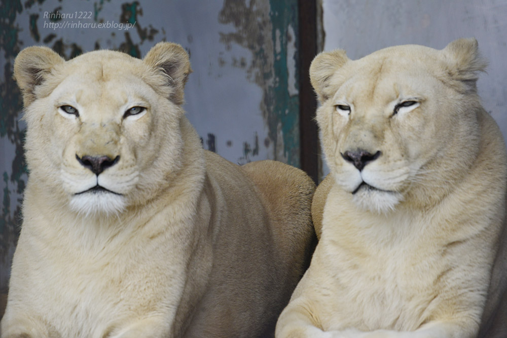2020.1.4 東北サファリパーク☆ホワイトライオンのリオンくん、ミルちゃん、ライムちゃん【White lions】_f0250322_18461013.jpg