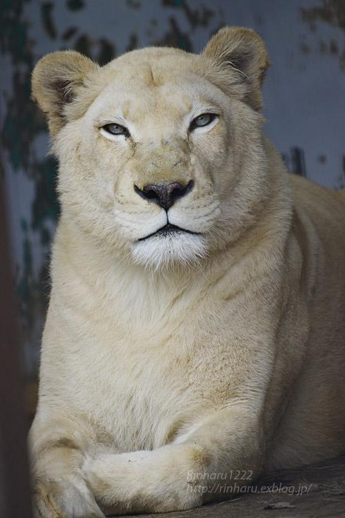 2020.1.4 東北サファリパーク☆ホワイトライオンのリオンくん、ミルちゃん、ライムちゃん【White lions】_f0250322_1846478.jpg