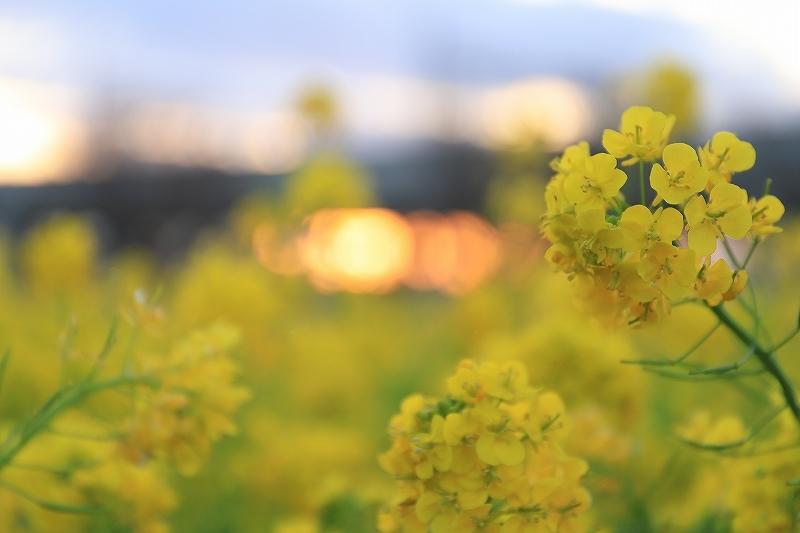 仕事帰りの菜の花撮影_f0348831_22303594.jpg