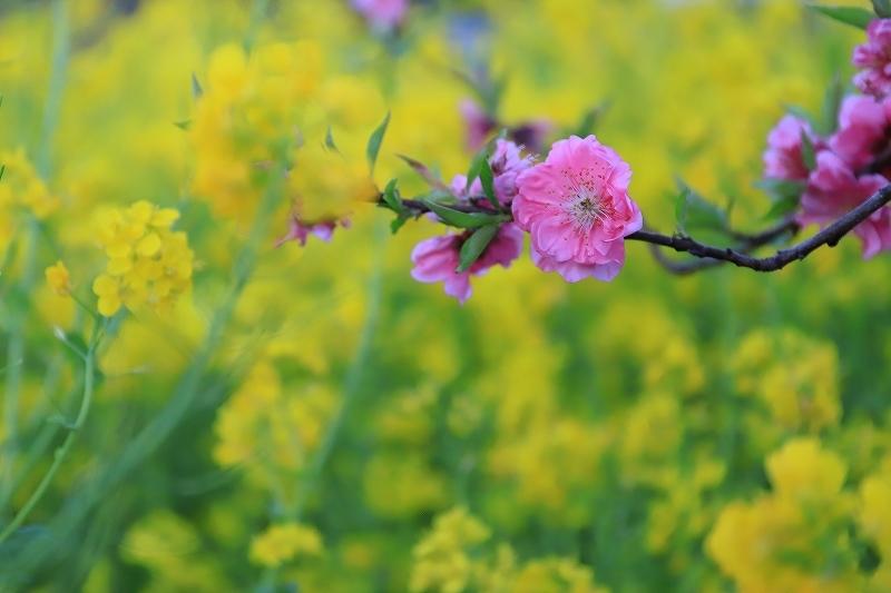 仕事帰りの菜の花撮影_f0348831_22305547.jpg