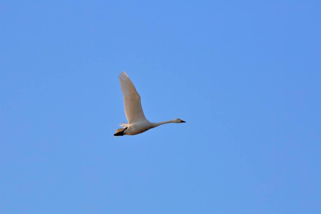 新・さらば白鳥w_e0403850_19423382.jpg