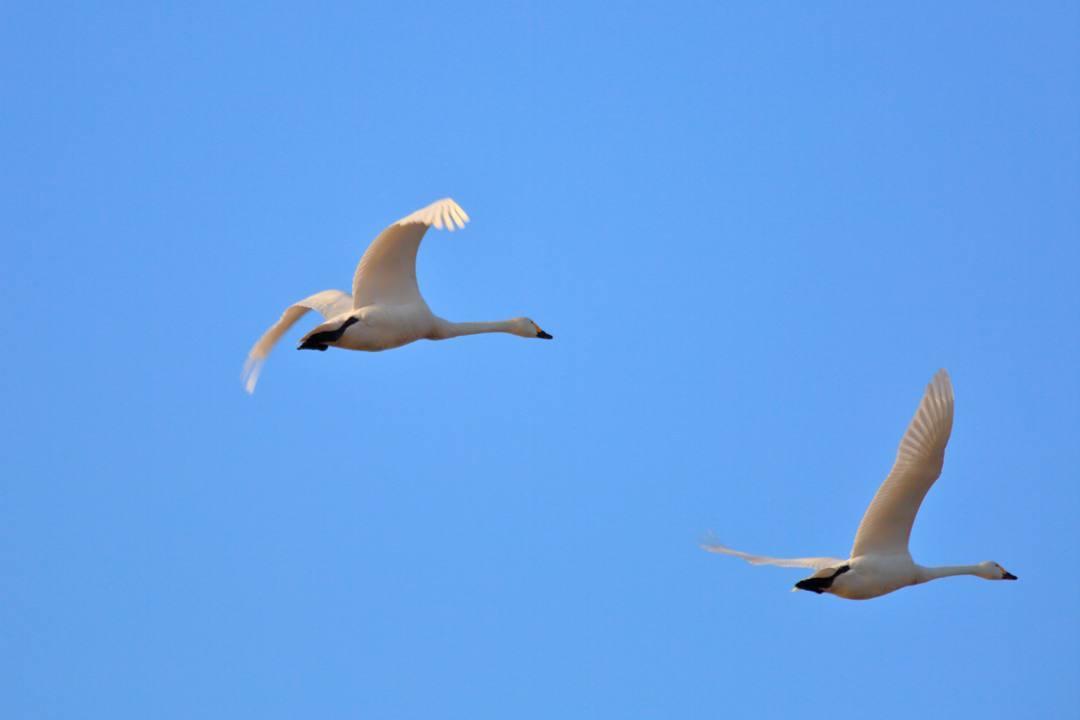 新・さらば白鳥w_e0403850_19423631.jpg