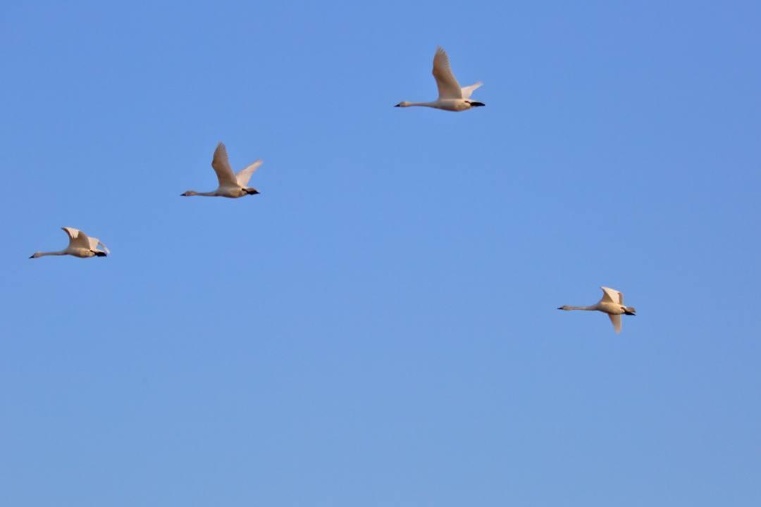 新・さらば白鳥w_e0403850_19424039.jpg