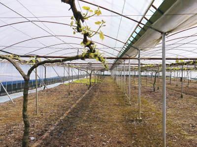 熊本ぶどう 社方園 芽吹き2020 前編:匠の芽キズをつける作業で今年も良い芽が芽吹きました!_a0254656_16564302.jpg