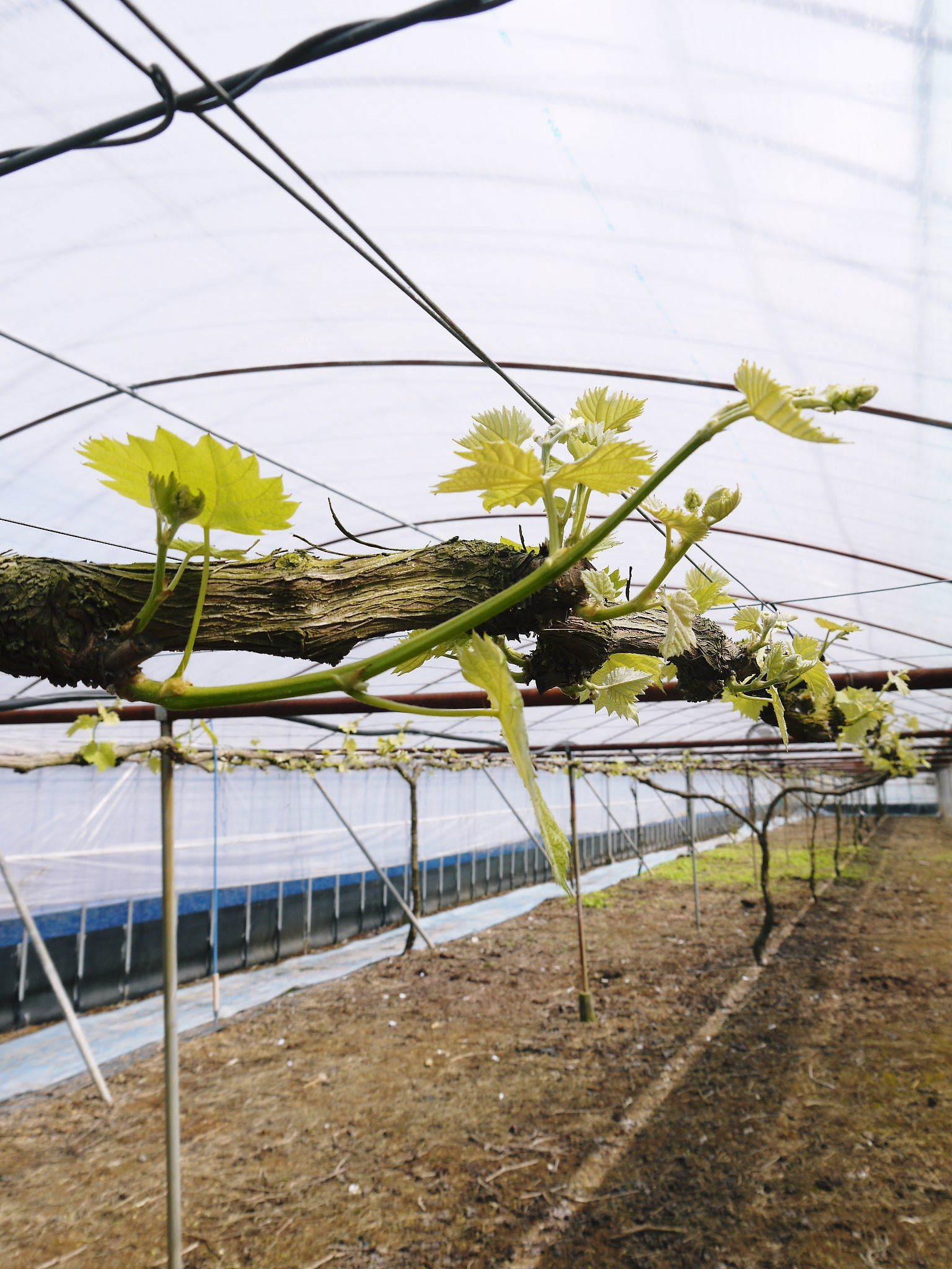 熊本ぶどう 社方園 芽吹き2020 前編:匠の芽キズをつける作業で今年も良い芽が芽吹きました!_a0254656_17052309.jpg