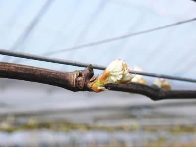 熊本ぶどう 社方園 芽吹き2020 前編:匠の芽キズをつける作業で今年も良い芽が芽吹きました!_a0254656_17350815.jpg