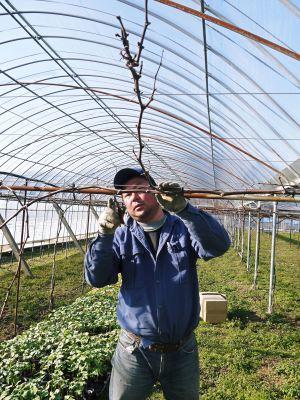 熊本ぶどう 社方園 芽吹き2020 前編:匠の芽キズをつける作業で今年も良い芽が芽吹きました!_a0254656_17382652.jpg