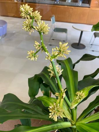 幸福の木に花が💐_a0077071_17061585.jpg