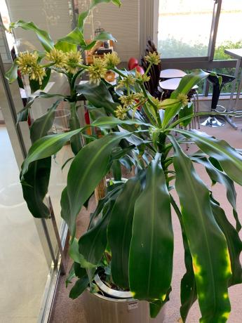幸福の木に花が💐_a0077071_17063222.jpg