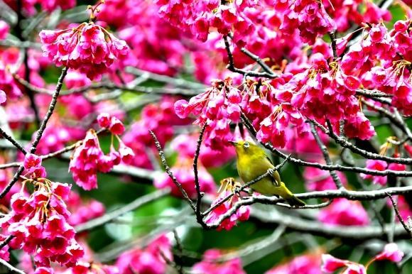 寒緋桜_c0164881_19460628.jpg