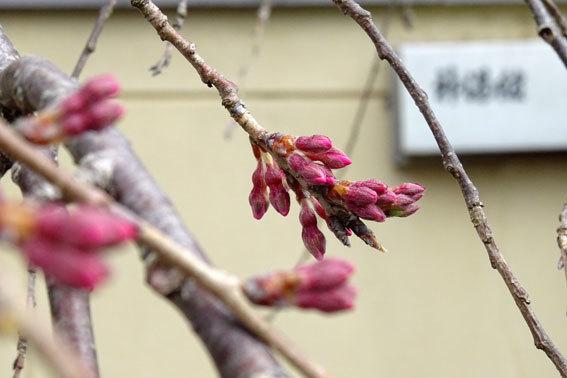 雪から桜へバトンタッチ_b0145296_10205980.jpg