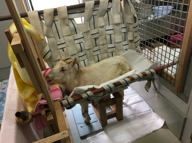 ヤギのヒラメは入院中です。_c0290504_14043997.jpg