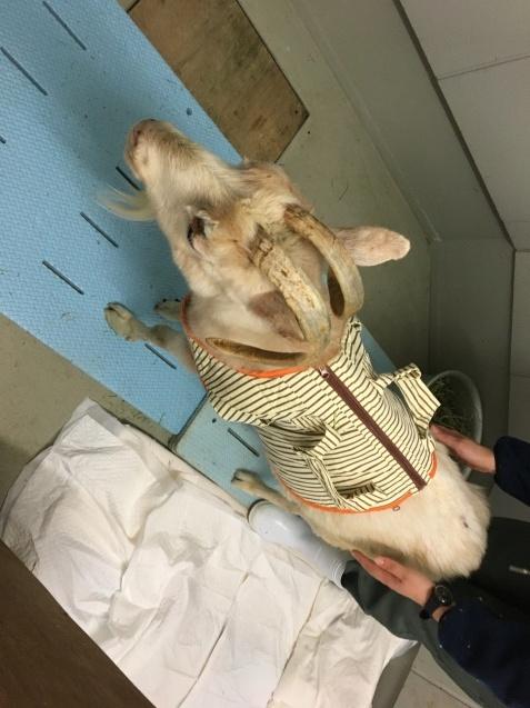 ヤギのヒラメは入院中です。_c0290504_14044425.jpg