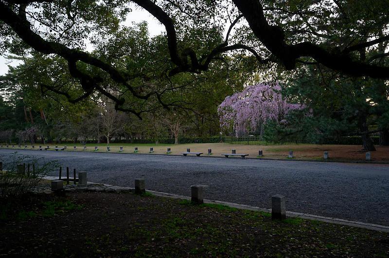 2020桜巡り@御所出水の糸桜_f0032011_19251320.jpg