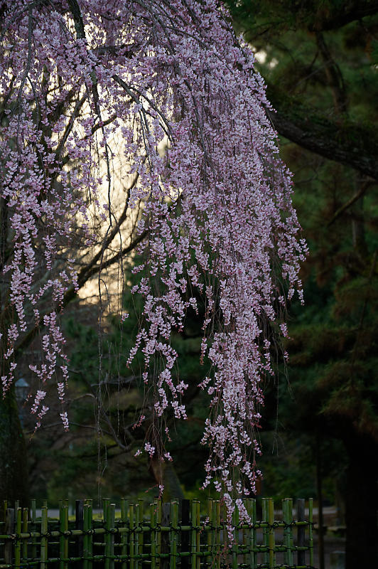 2020桜巡り@御所出水の糸桜_f0032011_19251418.jpg
