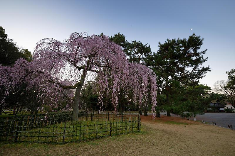 2020桜巡り@御所出水の糸桜_f0032011_19251431.jpg