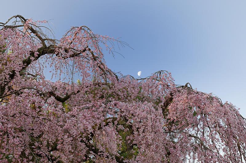 2020桜巡り@御所出水の糸桜_f0032011_19251466.jpg