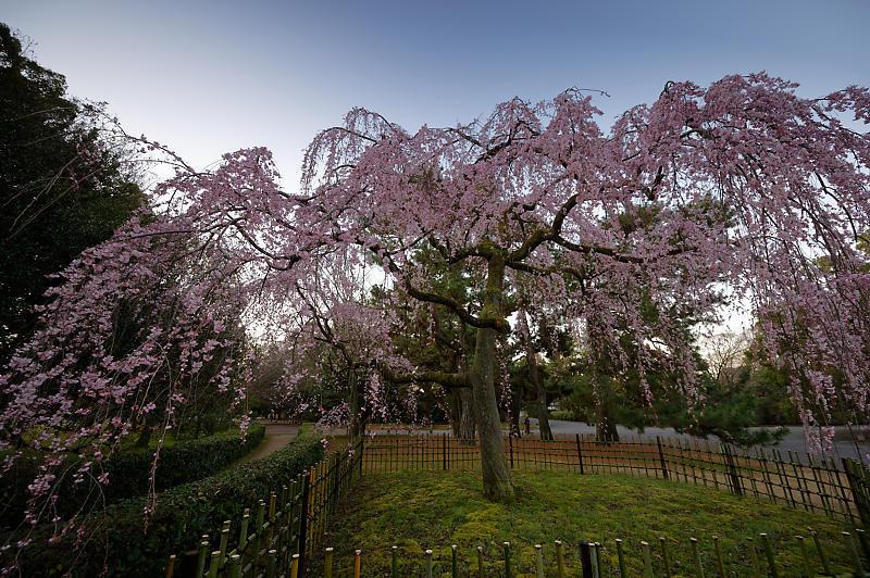 2020桜巡り@御所出水の糸桜_f0032011_19251467.jpg