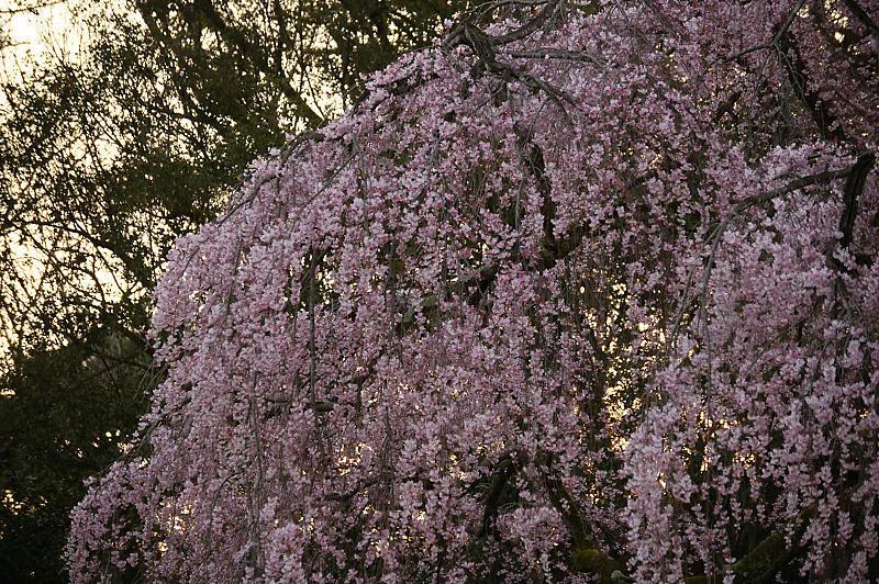 2020桜巡り@御所出水の糸桜_f0032011_19251480.jpg