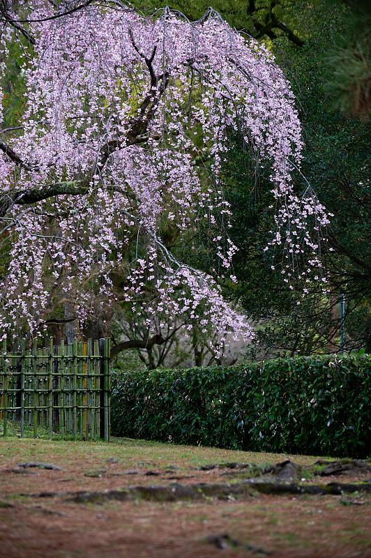 2020桜巡り@御所出水の糸桜_f0032011_19251487.jpg