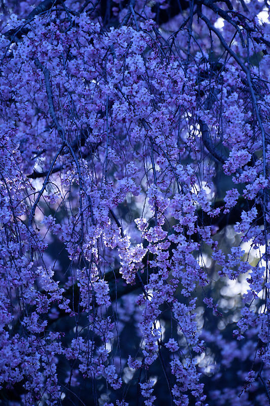 2020桜巡り@御所出水の糸桜_f0032011_19251567.jpg