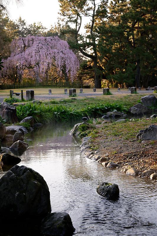 2020桜巡り@御所出水の糸桜_f0032011_19310348.jpg