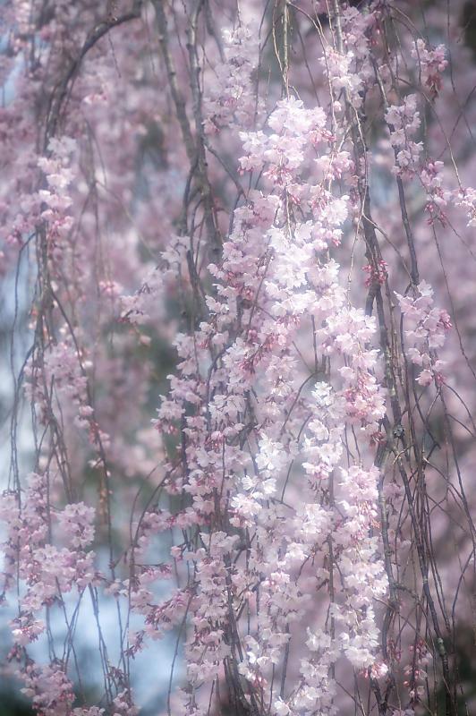 2020桜巡り@御所出水の糸桜_f0032011_19310404.jpg