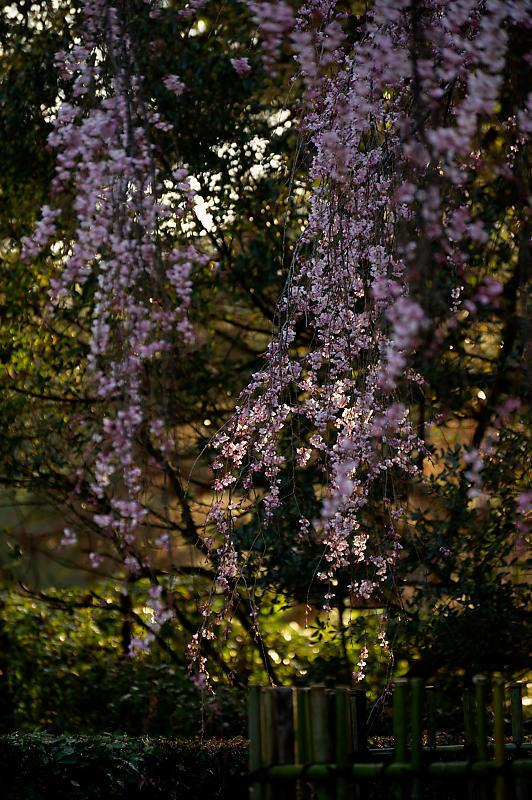2020桜巡り@御所出水の糸桜_f0032011_19310469.jpg
