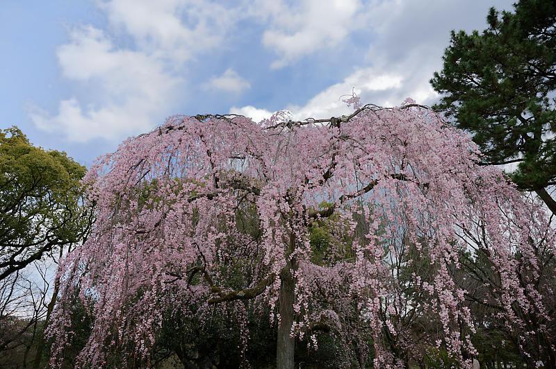 2020桜巡り@御所出水の糸桜_f0032011_19310492.jpg