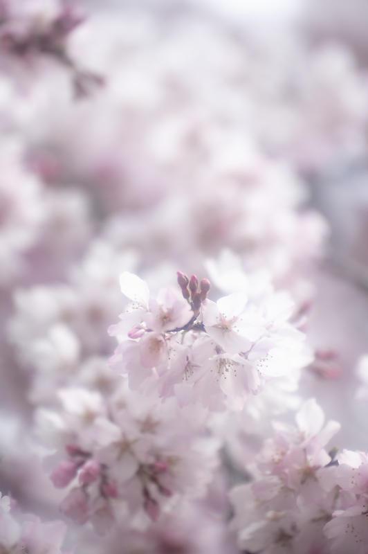 2020桜巡り@御所出水の糸桜_f0032011_19310542.jpg