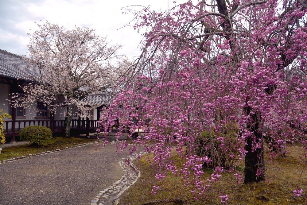 名古屋衛戍病院の枝垂桜_e0373930_21575314.jpg