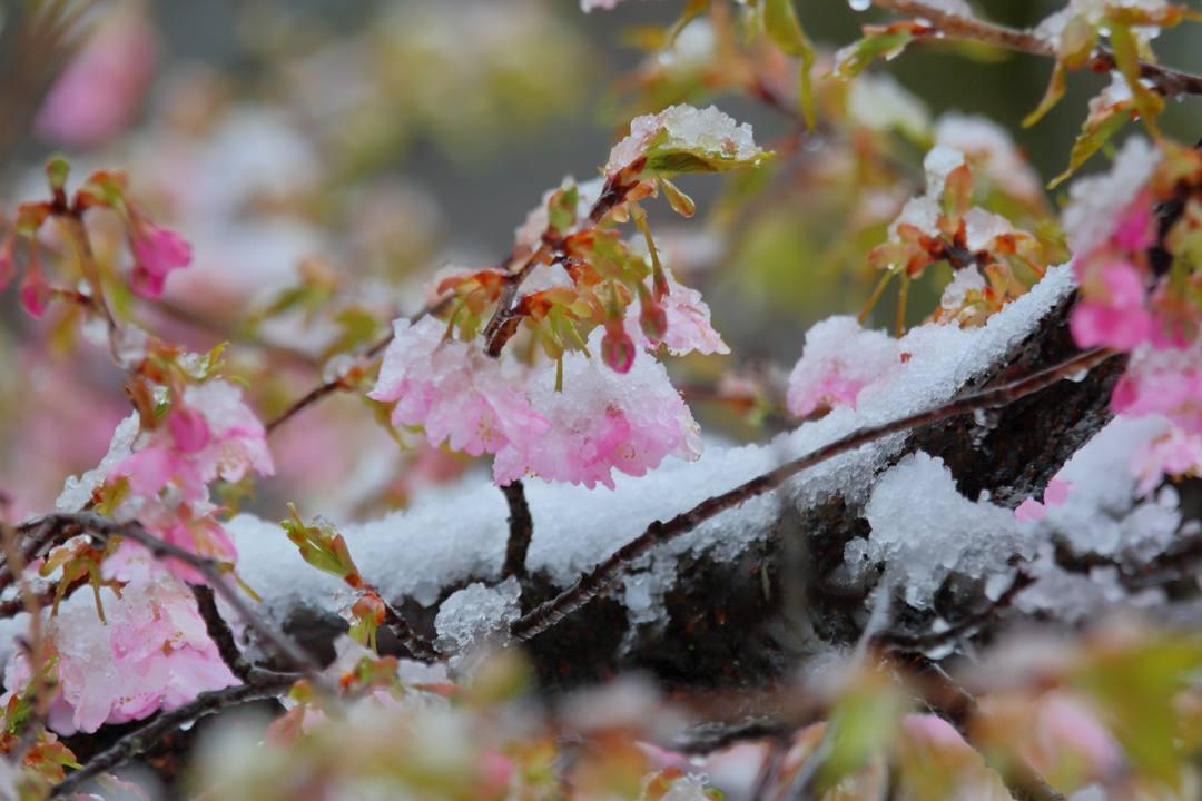 桜 2020_e0403850_21505957.jpg