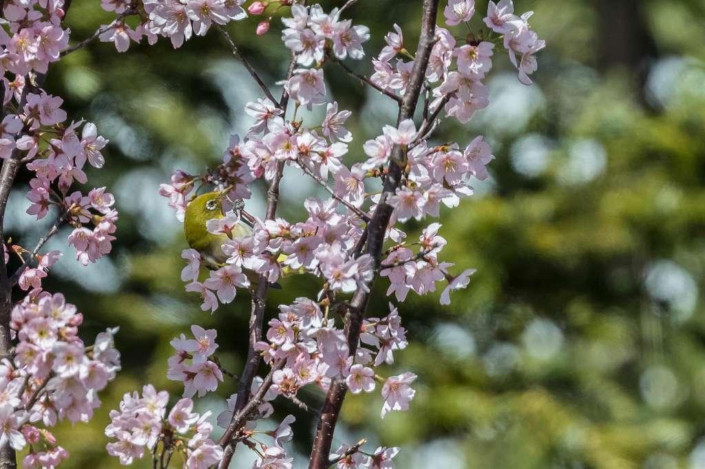 敬翁桜とメジロ_f0044056_14485447.jpg