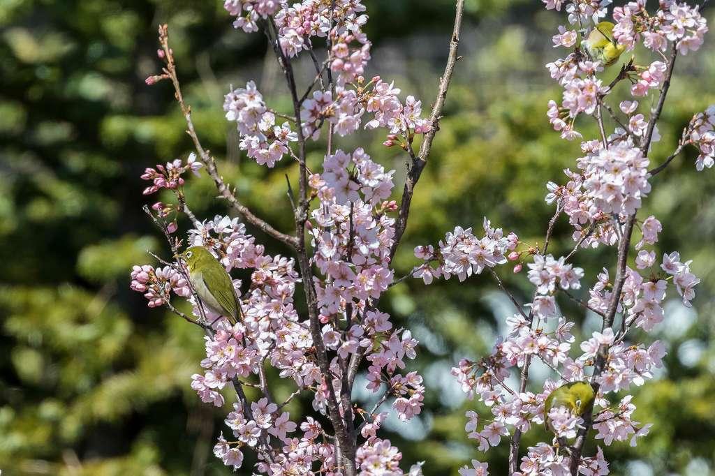 敬翁桜とメジロ_f0044056_14491150.jpg
