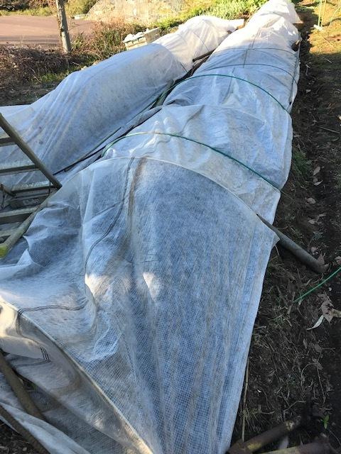 ジャガイモ発芽、スナップエンドウ初収穫3・16_c0014967_06484315.jpg