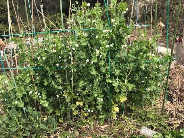 ジャガイモ発芽、スナップエンドウ初収穫3・16_c0014967_06491756.jpg