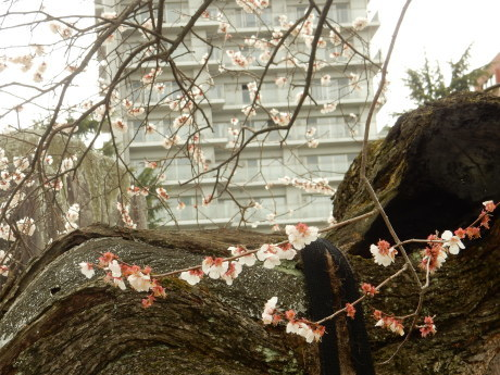 公園の梅ちゃんと黒猫たち_e0355177_20060351.jpg