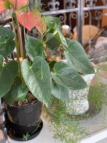 インドアグリーン 最近の我が家の観葉植物は・・・_e0237680_10284751.jpg